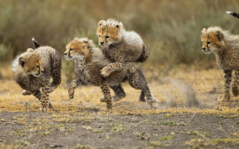 Đàn báo con nô đùa trong khu bảo tồn Ngorongoro tại Tanzania.