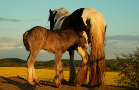 Ngựa mẹ và ngựa con gần làng Harlington, hạt South Yorkshire, Anh.