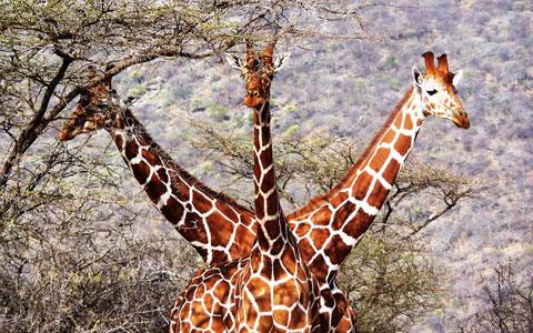 Ba con hươu cao cổ trong khu bảo tồn quốc gia Samburu của Kenya.