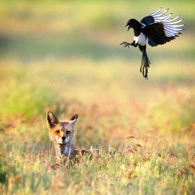 Một con chim magpie chuẩn bị đáp xuống gần một con sói trên đồng cỏ tại bang Washington, Mỹ.