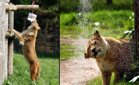 Sư tử tắm trong thời tiết nóng ở Blair Drummond Safari Park, Scotland.