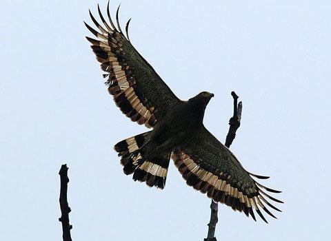 Đại bàng săn mồi trong khu bảo tồn Mayong ở đông bắc Ấn Độ.