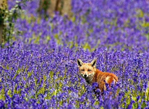 Con cáo trong một cánh đồng hoa ở Potton, Bedfordshire, Anh.