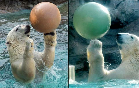 Gấu Bắc Cực chơi đùa với quả bóng tại vườn thú thành phố Asheboro, bang North Carolina, Mỹ.