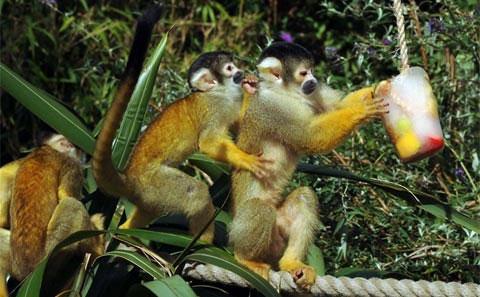 Những con khỉ sóc tại Surrey, Anh thưởng thức kem giúp giảm nóng trong mùa hè.