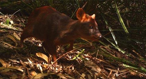 Trước thực trạng số lượng loài hươu nhỏ nhất thế giới - hươu Pudu đang suy giảm nghiêm trọng, nhóm nhà khoa học từ Đại học Florida đã sử dụng các bẫy camera từ xa để nghiên cứu Pudu trong khu rừng ở Chile. Đây là loài nằm trong danh sách đối mặt với nguy cơ tuyệt chủng cao trong tự nhiên.