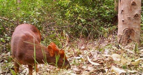 Pudu sống trong các khu rừng ôn đới, thường hoạt động chủ yếu vào buổi sáng, buổi chiều muộn và buổi tối. Các kẻ thù luôn rình rập chúng là đại bàng, cú, báo sư tử, con mèo nhỏ. Khi cảm thấy bị de dọa, Pudu thường chạy trốn bằng cách leo lên cây cao.