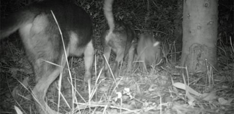 Các nhà nghiên cứu đã ghi lại hình ảnh con chó đang đi vào khu bảo tồn Pudu để săn mồi. Theo các nhà khoa học, bên cạnh môi trường sống bị phá hủy, những con chó đang là thủ phạm chính giết hại Pudu, khiến số lượng loài này giảm sút.