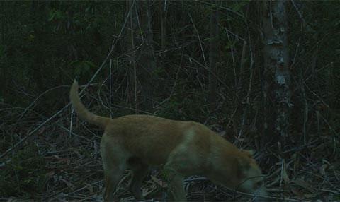 Nhà nghiên cứu Eduardo Silva Rodriguez, Đại học Florida đề nghị người dân địa phương cần quản lý đàn chó của họ, để chúng không được vào khu bảo vệ Pudu.