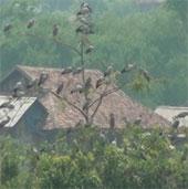Bảo vệ đàn cò nhạn quý hiếm tại xã Mường Phăng