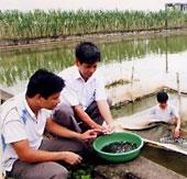 Sản xuất cá lăng chấm bằng phương pháp nhân tạo