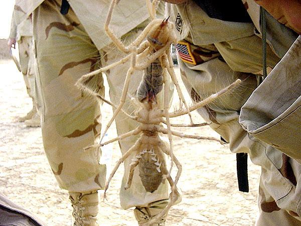 Chiều dài cơ thể của chúng có thể lên tới 15cm nên người ta còn gọi chúng là nhện khổng lồ.