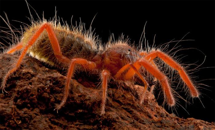 Với khả năng di chuyển với tốc độ tới 50km/h và nhảy tới độ cao 2m nhện lạc đà là nỗi khiếp sợ với mọi loài động vật trên sa mạc.