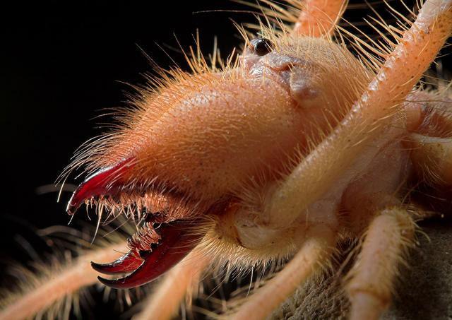 Nhện lạc đà sử dụng hàm răng sắc nhọn như càng cua và dao để tấn công côn trùng, động vật gặm nhấm, rắn và các loài chim nhỏ.