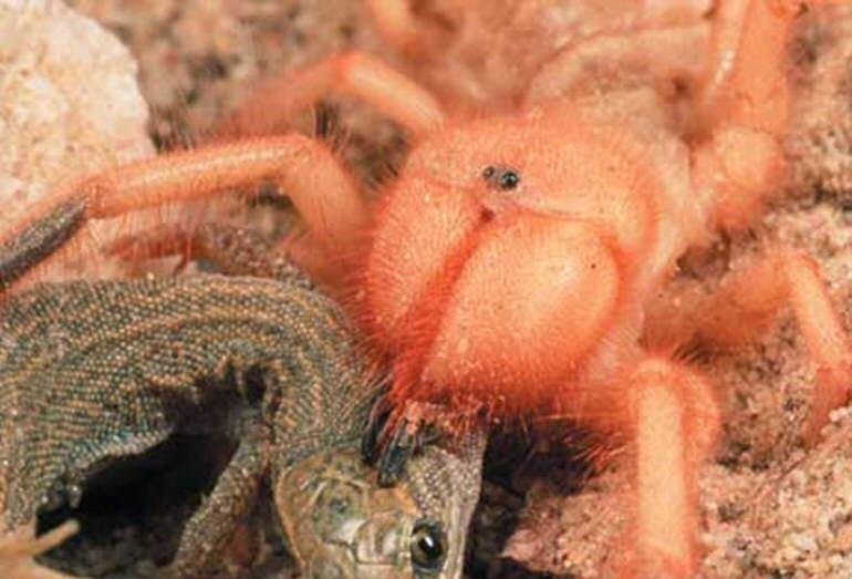 Dù không có nọc độc song loài nhện này có thể hạ gục những loài động vật lớn chỉ với một nhát cắn.