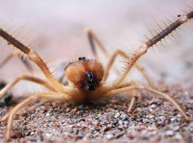 """Trong tiếng Latinh, tên của loài nhện lạc đà có nghĩa là """"chạy trốn mặt trời""""."""