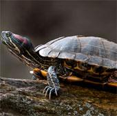Điều khiển rùa từ xa