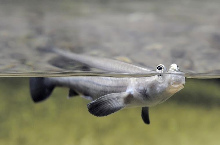 Khi ngoi lên mặt nước để tìm côn trùng, hai mắt trên sẽ lộ ra ngoài không khí để ánh sáng lọt qua thủy tinh thể ngắn và rộng. Khi thấy con mồi, nó bật lên khỏi mặt nước để đớp.