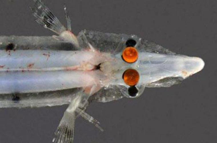 Thức ăn của loài này gồm côn trùng, các loài động vật không xương sống, tảo và cá con.