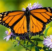 Vẻ đẹp lộng lẫy của bướm vua