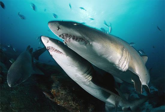 Cá mập hổ cát phải tiêu diệt lẫn nhau để giành quyền sống ngay từ khi  chúng còn ở dạng phôi thai trong bụng mẹ.