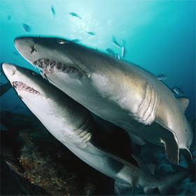 Cá mập diệt nhau từ trong bụng mẹ