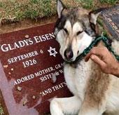 Video: Lạ lùng cảnh chó sói khóc như người