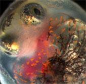 Vụ tràn dầu Deepwater Horizon gây khuyết tật cho cá