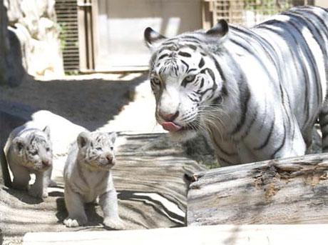 Hổ trắng và hai trong số bốn con của nó tại vườn thú Tobu, thành phố Tokyo, Nhật Bản.