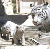Hổ trắng nuôi nhốt lần đầu chào đời ở Nhật