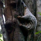 Tái thả tê tê Java vào tự nhiên