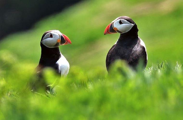 Chim mòng biển cũng thể hiện yêu trong mùa giao phối.