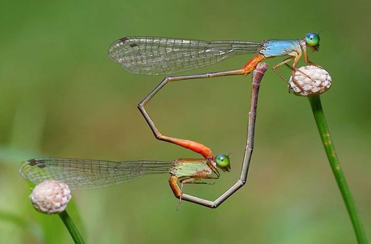 Cặp chuồn chuồn đang giao phối, đuôi chúng tạo thành hình trái tim-biểu tượng tình yêu.