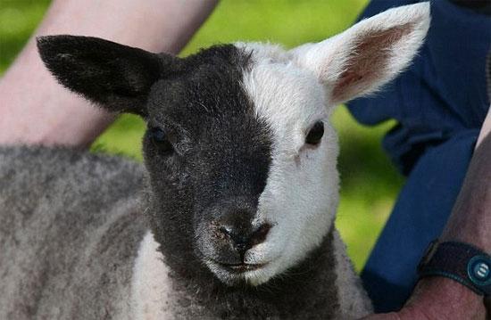 Con cừu với khuôn mặt nửa đen và nửa trắng ở miền trung xứ Wales.