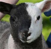Cừu có khuôn mặt hai màu