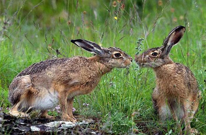 """Đôi thỏ nhìn nhau """"âu yếm"""" ở công viên Kasentino, Italy…"""