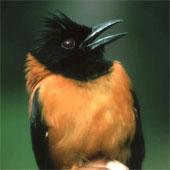 Loài chim giết người bằng... một cái vuốt ve