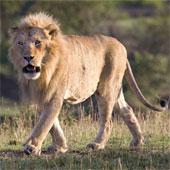 Video: Thế trận mai phục hoàn hảo của sư tử