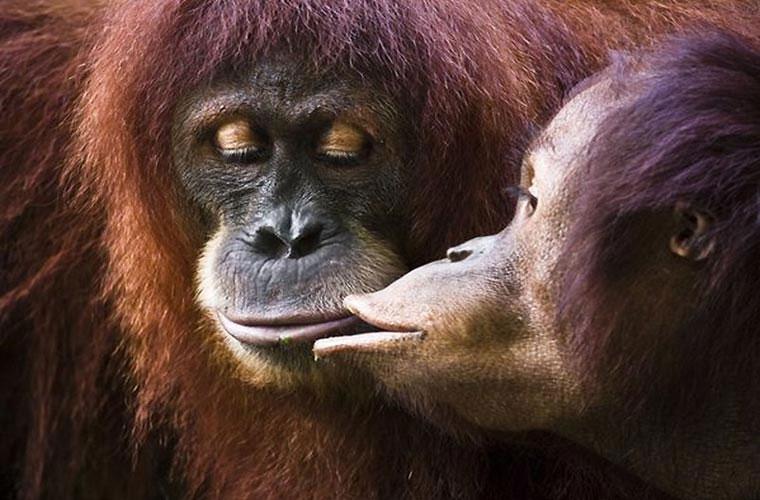 Hay như cặp vợ chồng khỉ này.
