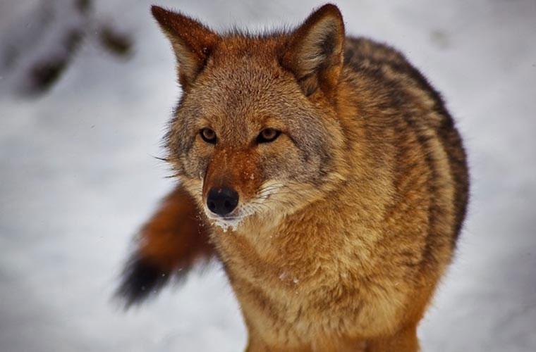 Chó sói đồng