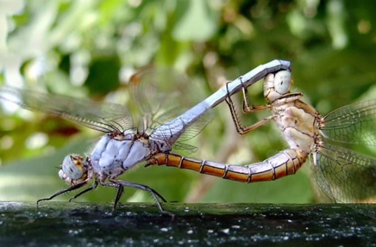 Cưỡng bức bạn tình. Nhiều loài động vật có trải qua đầy đủ các bước của quá trình hẹn hò, nhưng chuồn chuồn thì không có nhiều thời gian đến thế.