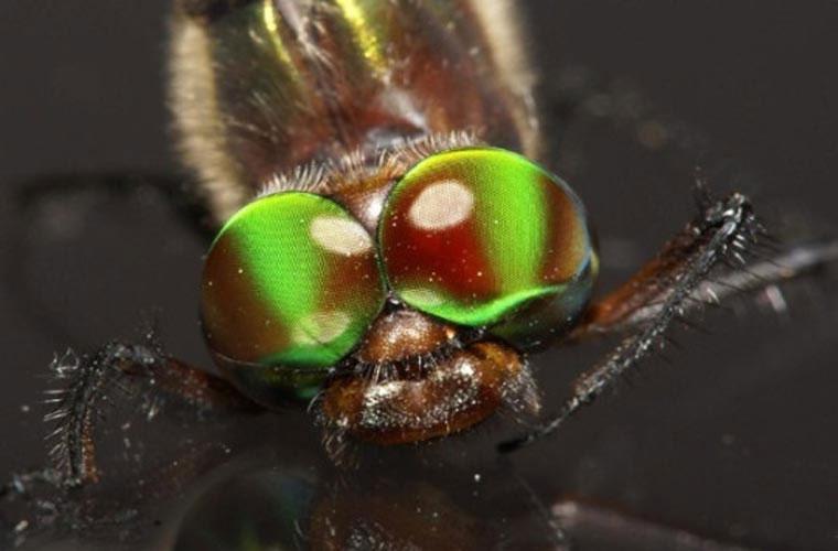 Tầm quan sát cực tốt. Hầu hết các loài côn trùng đều có những cặp mắt đa mặt. Với cặp mắt gồm 30.000 mặt, chuồn chuồn có thể giành được ngôi vô địch trong thế giới côn trùng sống gần nước.