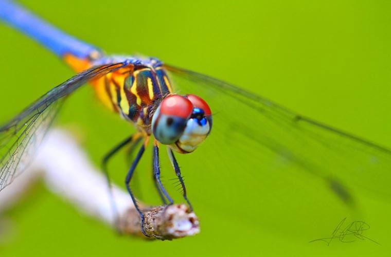 """Quan sát được trên mọi hướng. Theo nhà nghiên cứu, tiến sỹ R.M.Olberg: """"Loài chuồn chuồn có thể thấy bạn khi chúng bay về phía bạn, và ngay cả khi chúng bay xa khỏi bạn""""."""