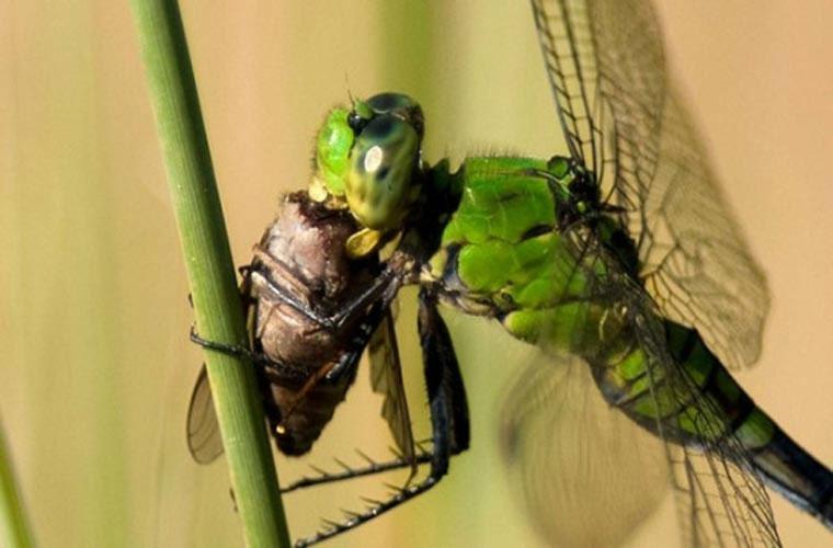 Là một loài vô cùng phàm ăn. Một con chuồn chuồn có thể ăn liền lúc 30 con ruồi, và nó vẫn có thể ăn được nữa nếu có.