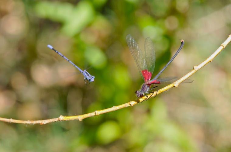 Có thể điều khiển cánh một cách độc lập. Một trong những đặc điểm nổi bật của loài này là cách thức mà đôi cánh của nó làm việc.