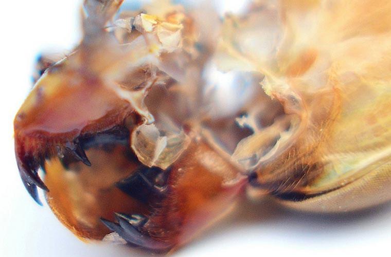 Nghiền nát con mồi. Chuồn chuồn thuộc họ Odonata, nghĩa là có răng. Hàm răng cực kỳ khỏe của chuồn chuồn có thể nghiền nát con mồi.