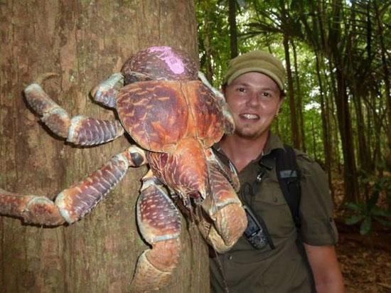 Cua dừa khổng lồ sống trên cây