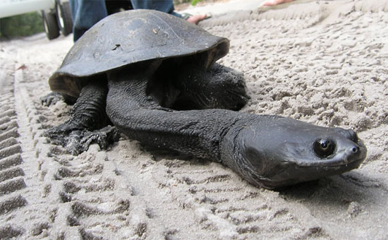 Rùa cổ dài Smooth