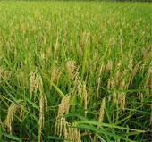 Việt Nam và IRRI hợp tác phát triển ngành lúa gạo