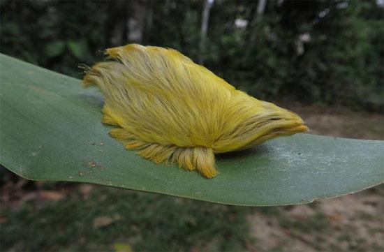 Loài sâu bướm hiếm với bộ lông mượt mà.
